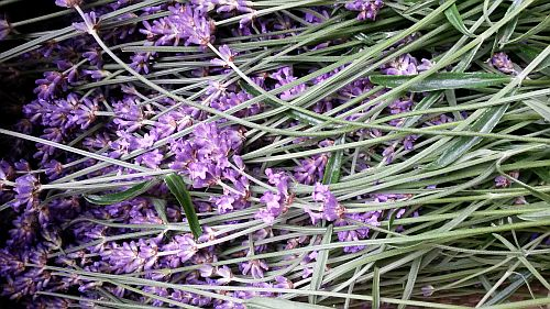 Lavendel-2