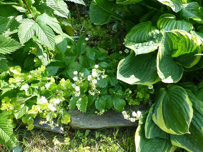 Garten-Juni-12-wilde Erd.