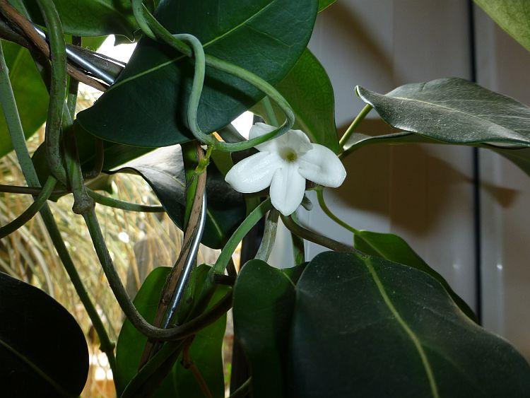 Blume-4