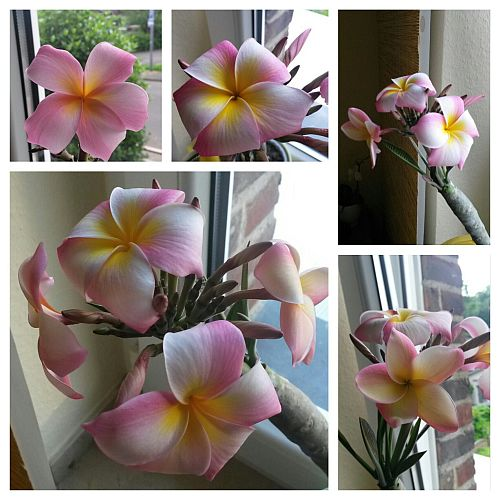 Frangipaniblüte-1