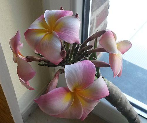 Frangipaniblüte-6